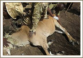 The eland is darted for treatment