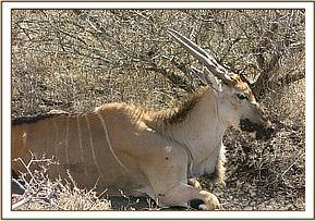The eland was also pregnant