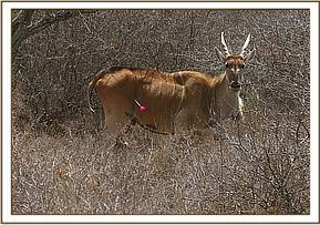 An eland has a swollen joint and is limping