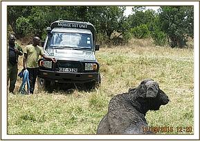 The vet team assist the buffalo using a vehicle