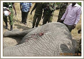 An elephant is seen with a spear injury