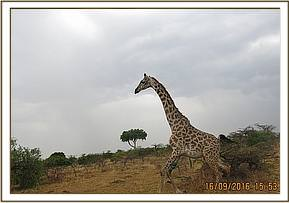 The giraffe runs away following treatment