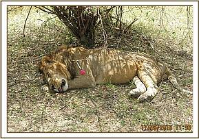 A lion is darted for treatment