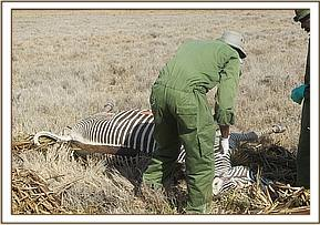 The team examine a Grevy Zebra carcass