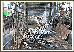 The leopards are examined before relocation
