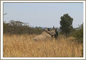The white rhino is darted for relocation