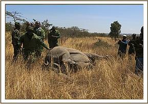 The team prepare the rhino for transport