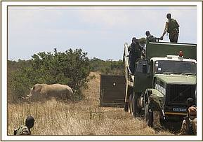 The white rhino is released