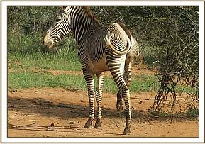 Zebra foal found with tight snare around the fetlock
