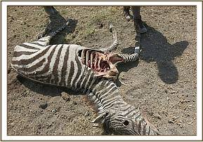 All the zebras looked very thin with prominent bones