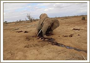Mono tusk elephant carcass also died from the drought