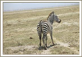 Zebra looking unwell and not keeping pace with the herd