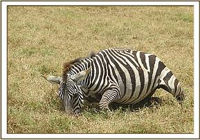 The zebra was unable to stand