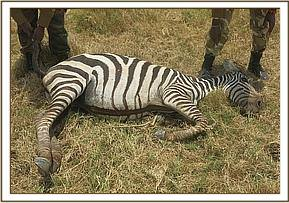 The zebra was euthanised for further analysis