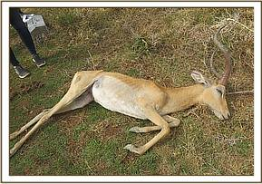 Impala was so emaciated it was decided to euthanise and post mortem