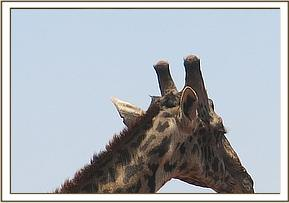 Giraffe seemed to have a bilateral cloudy cornea