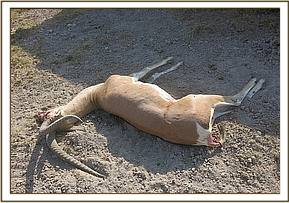 Grant gazelle had only just died