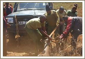 One man waited at the top to restrain the kudu for examination