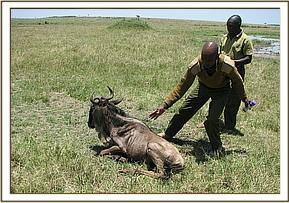 The wildebeest awake after the reversal drug is administered