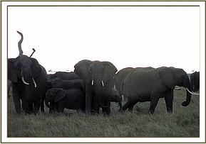 The elephant with the rest of her herd