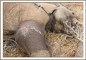 The elephant is euthanased as progonsis for its recovery was very poor