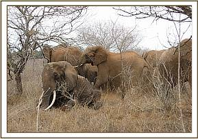 The immobilized elephant and the rest of its herd