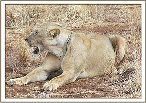 The lioness with a snare wound