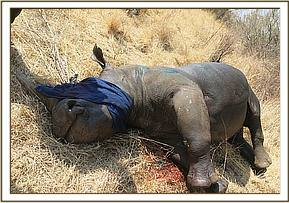 The rhino after treatment