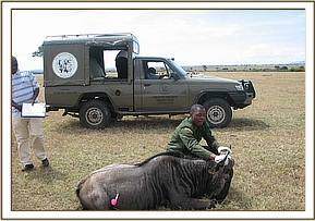 An immobilized wildebeest