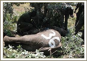 Immobilized elephant for translocation