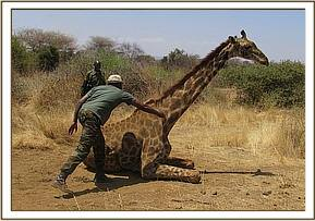 The giraffe falling to the ground
