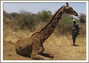 After sedating the giraffe