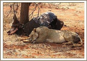 The lioness lying next to a buffalo carcass
