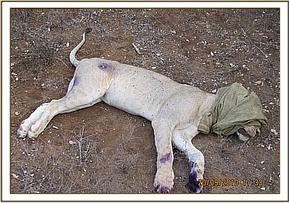 The rescued lioness after treatment