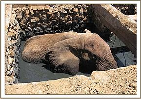 One of the bull elephants trapped in the septic tank