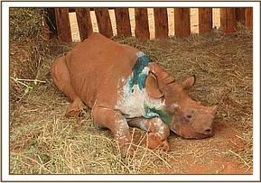 the orphaned rhino