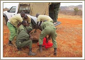 The calf is captured and imobilized