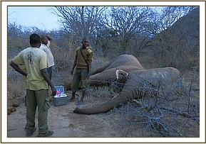 The immobilized elephant before treatment
