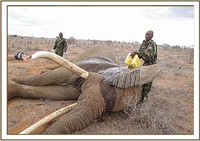 The injured big tusker