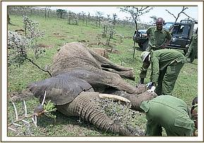 After sedating the injured elephant