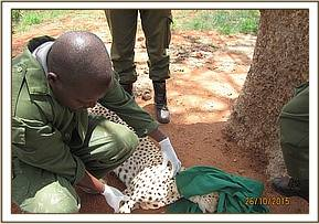 The vet tends to the cheetah's wound