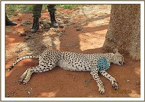 An injured cheetah is treated by the team