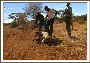 Sadly the eland died from electric shock