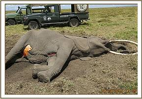 A postmortem was carried out on this elephant