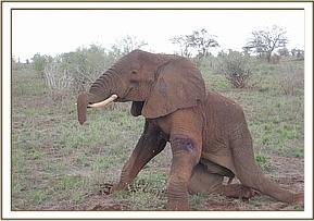 the elephant gets to his feet after treatment