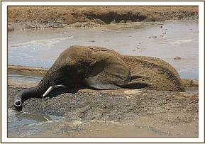 The elephant was stuck in the Aruba borehole