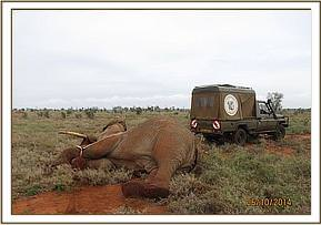 The elephant is immobilised for treatment