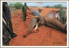 The vet team attending to the injured bull elephant