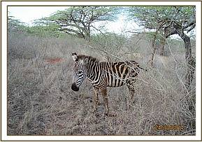 This zebra was reported as sickly