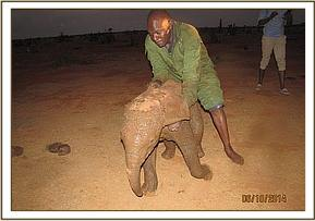 The vet team assists this little elephant from the mud hole